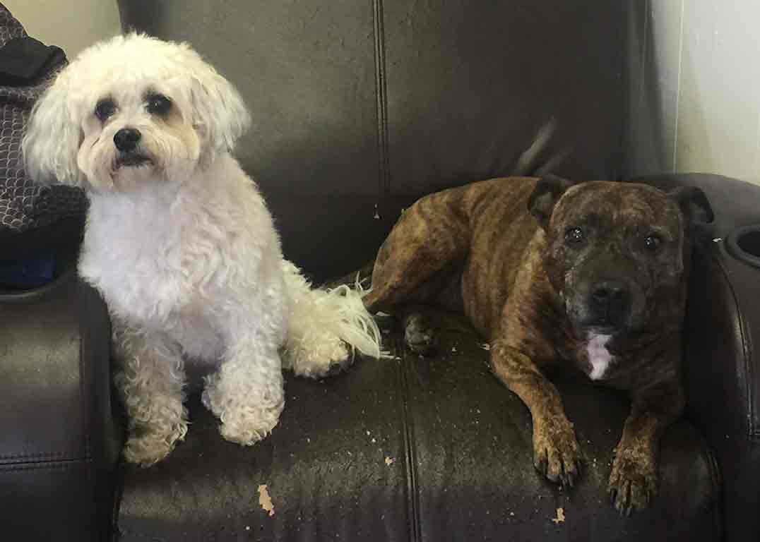 Bo The Maltipoo And Onyx The Staffordshire Woof Dogs